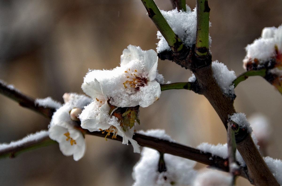 Цветы под снегом... Эх, поспешили... - Ольга Голубева