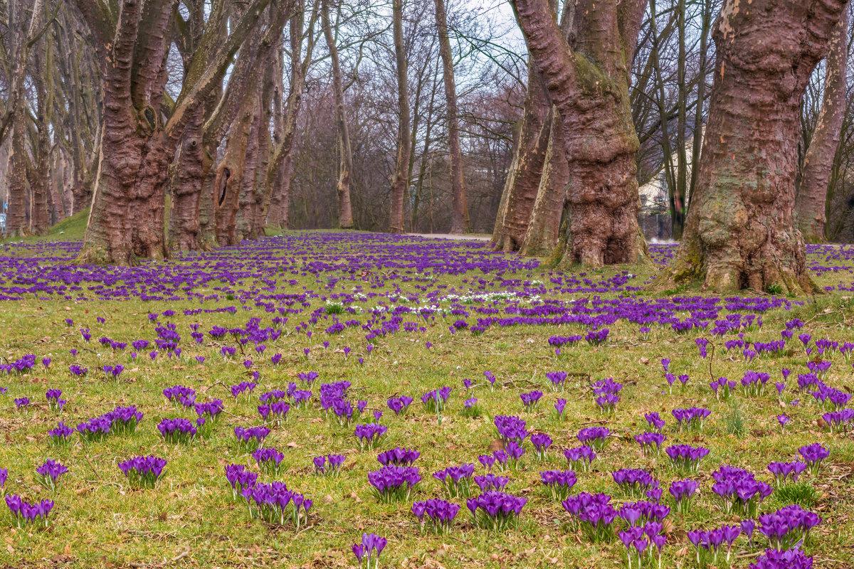 Крокусы в старом парке - Игорь Геттингер (Igor Hettinger)