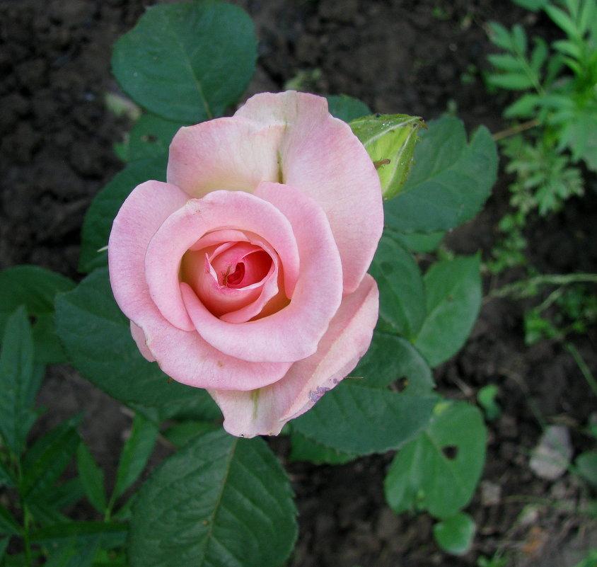 Розовая роза - Марина Таврова