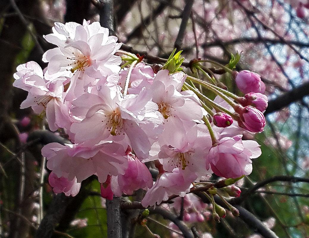 Сакура цветет - Светлана
