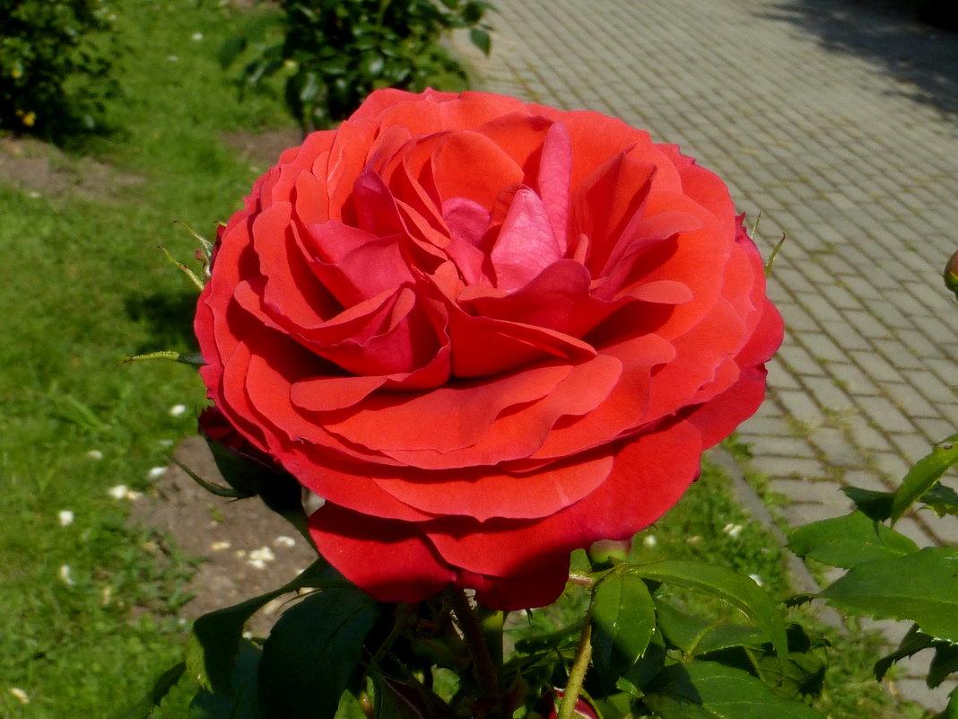 Роза у дороги - Татьяна Лобанова