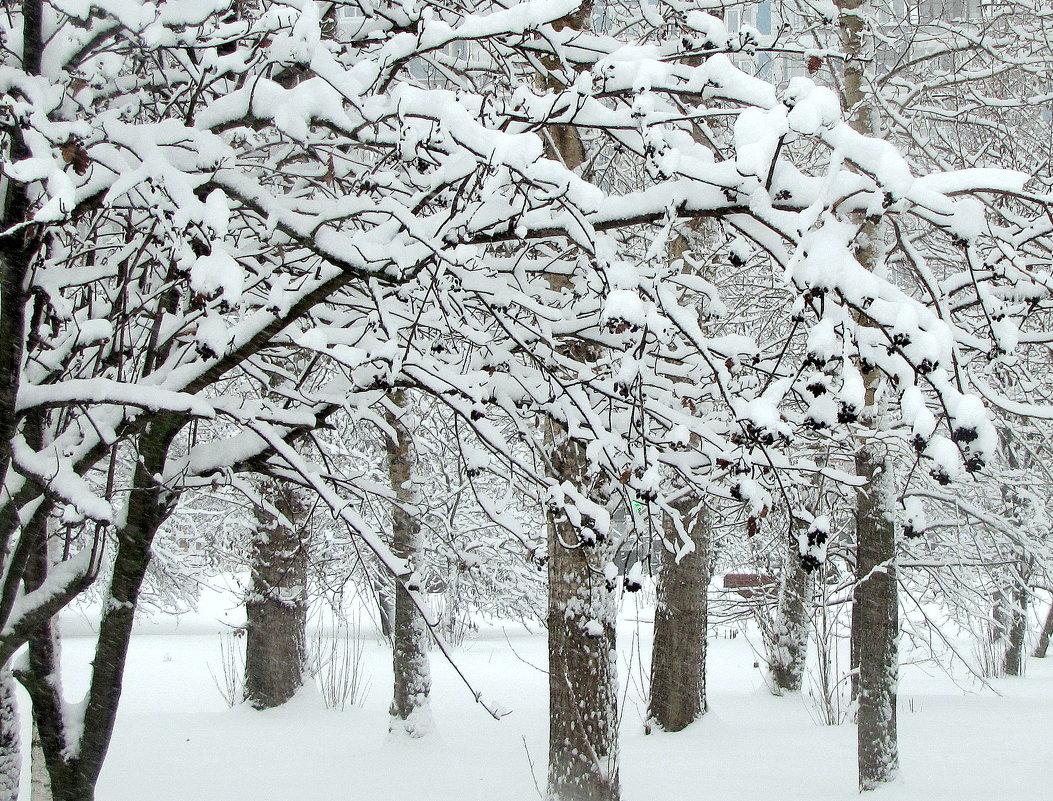 Ветка рябины под снегом! - Жанна