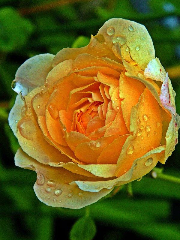 роза в капельках дождя - Александр Корчемный