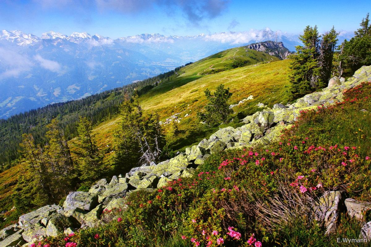звезды лета - альпийские розы - Elena Wymann