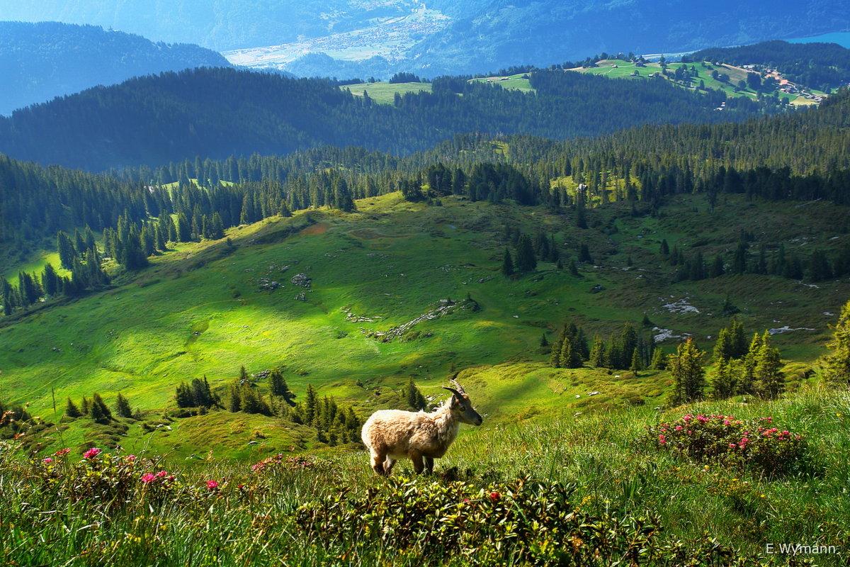 козленок в альпийском пейзаже - Elena Wymann