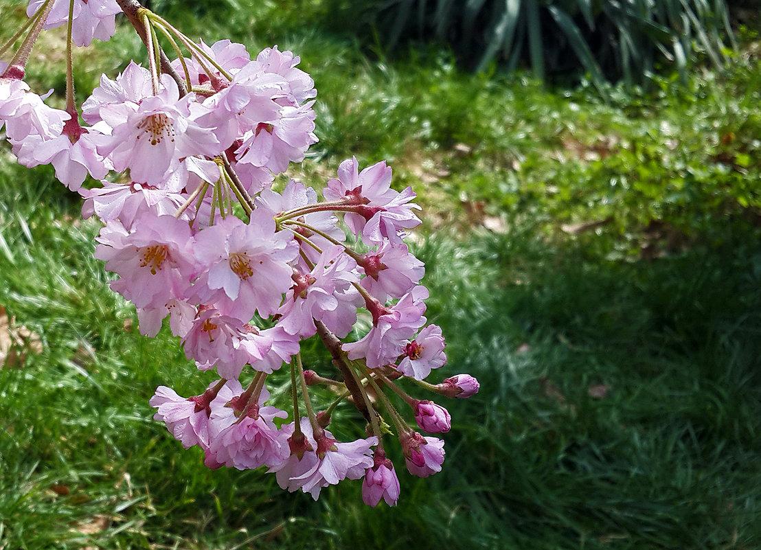 Цветение сакуры - Светлана