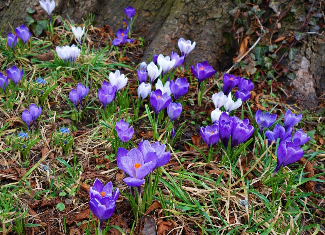 """"""" Первые весенние цветы... Вас земля всю зиму ожидала..."""" - Galina Dzubina"""