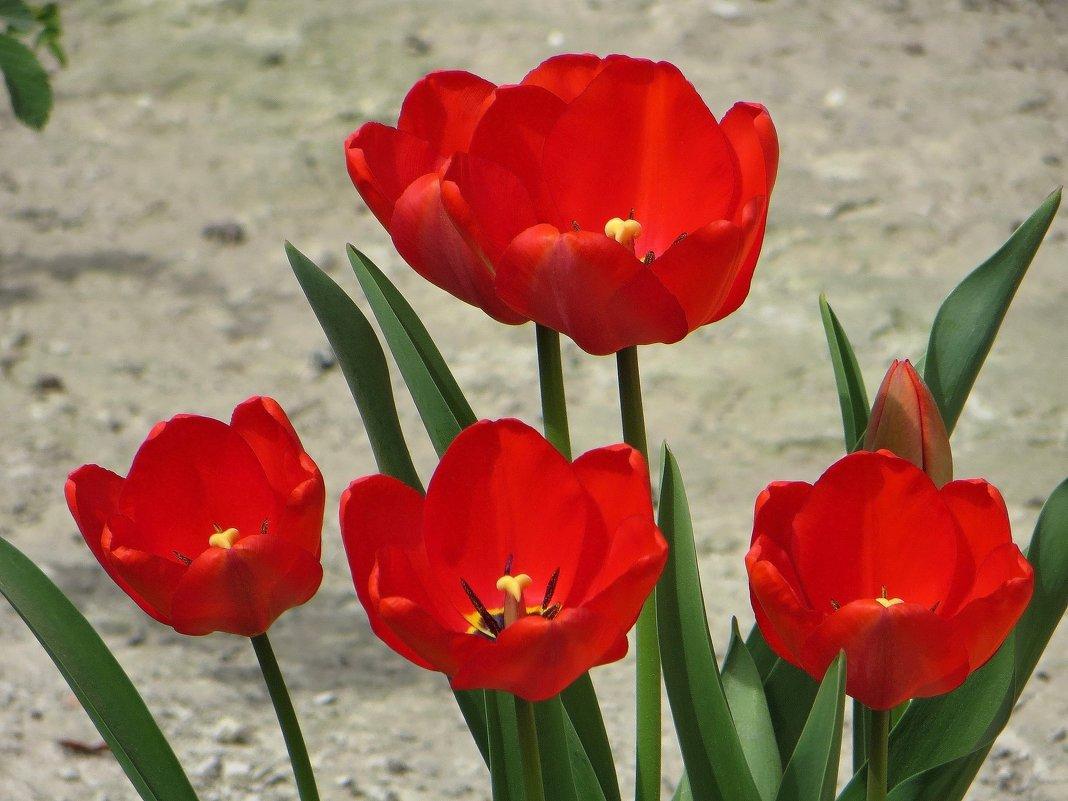 Красные тюльпаны - Татьяна Смоляниченко