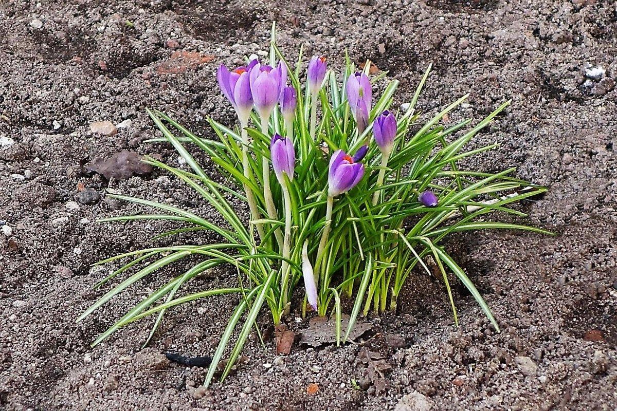 Первые весенние цветы - Маргарита Батырева