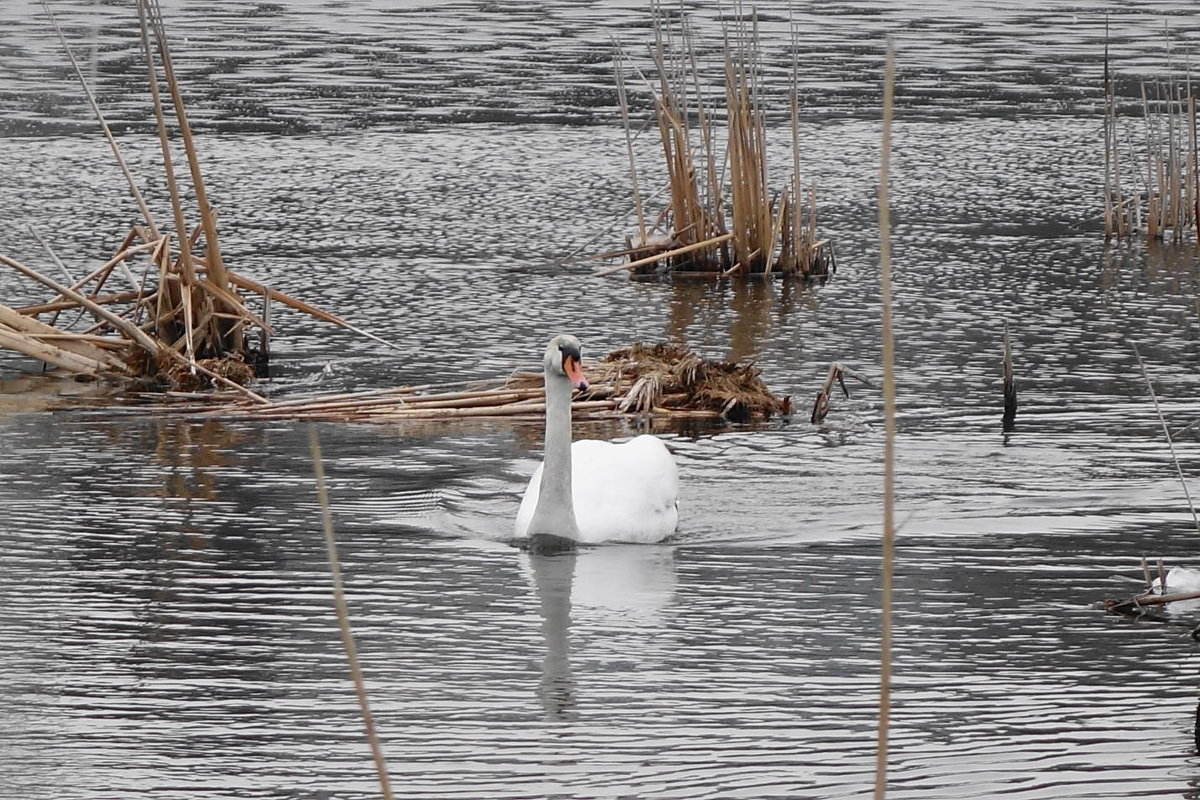 На освобождающие от льда озера, возвращаются лебеди - Маргарита Батырева