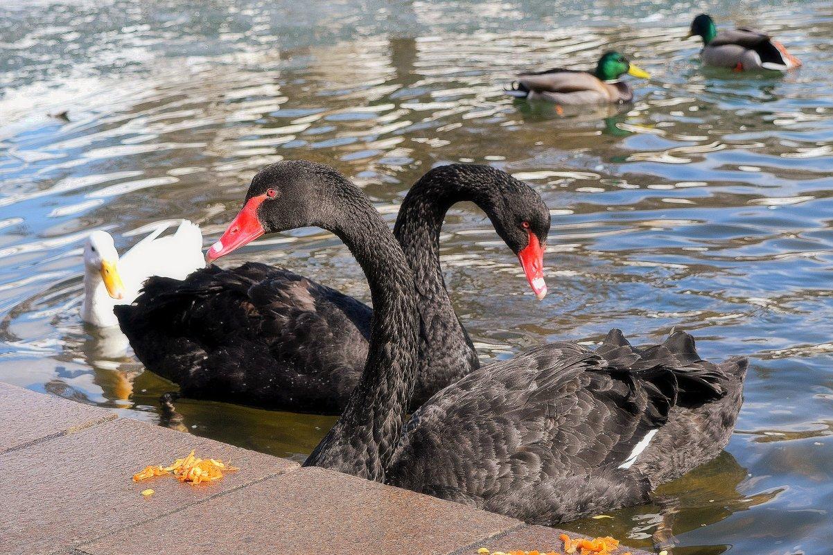 Чёрные лебеди встретили весну в отличной форме. - Татьяна Помогалова