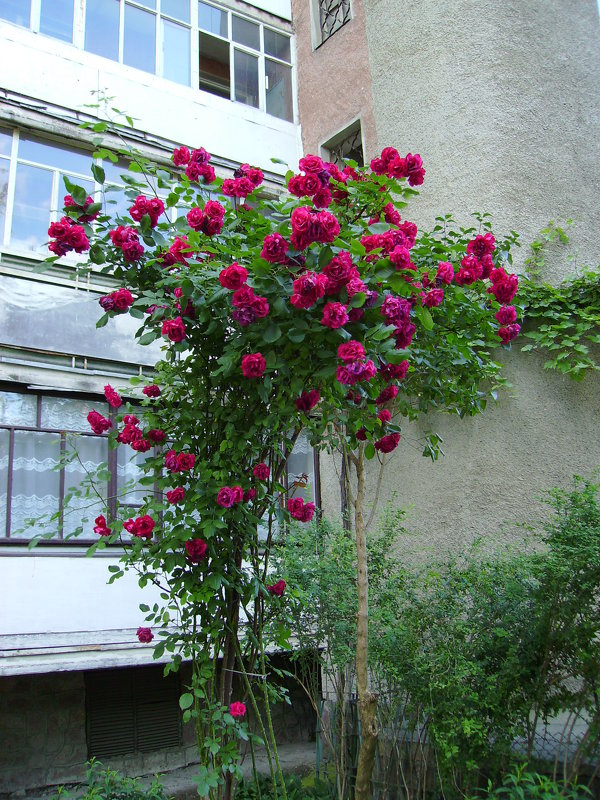 Розовый   куст   в   Ивано - Франковске - Андрей  Васильевич Коляскин