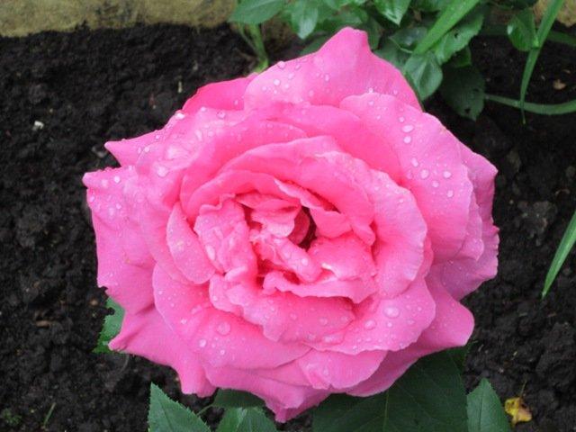 Розовая роза - Дмитрий Никитин