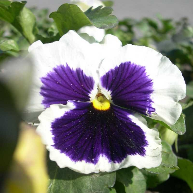 Viola tricolor 3 - Андрей Lactarius