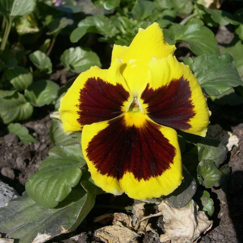 Viola tricolor 1 - Андрей Lactarius