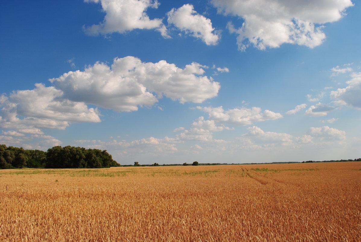 Пшеничное поле. - Виктор