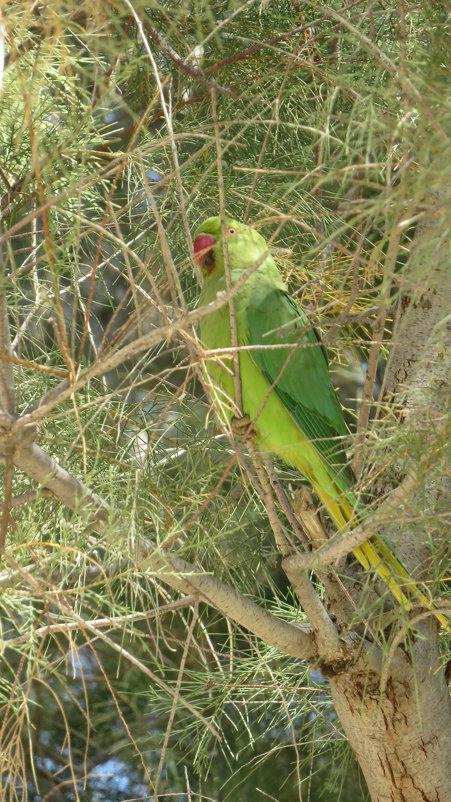 Попугай драра - Герович Лилия