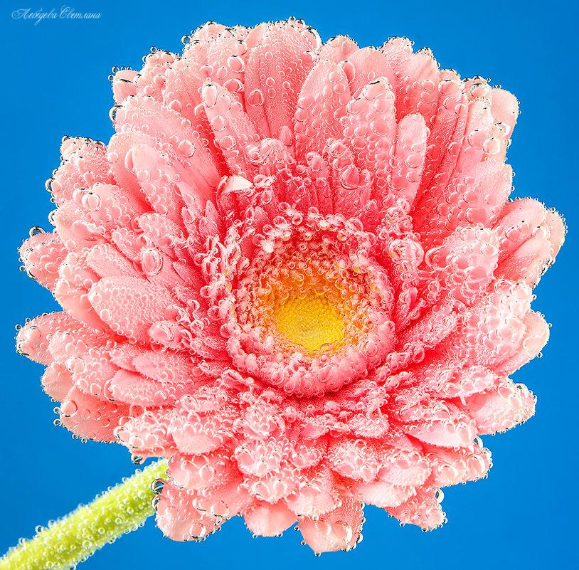 Розовая гербера - Светлана Л.
