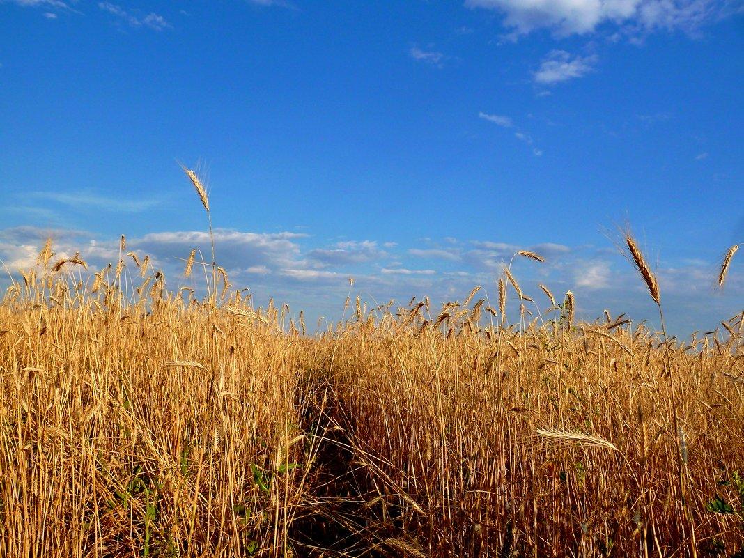 Тропинка в поле пшеничном... - Лидия Бараблина