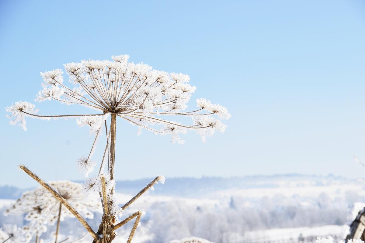 Борщевик. Опасен летом, прекрасен зимой - Светлана Соколова
