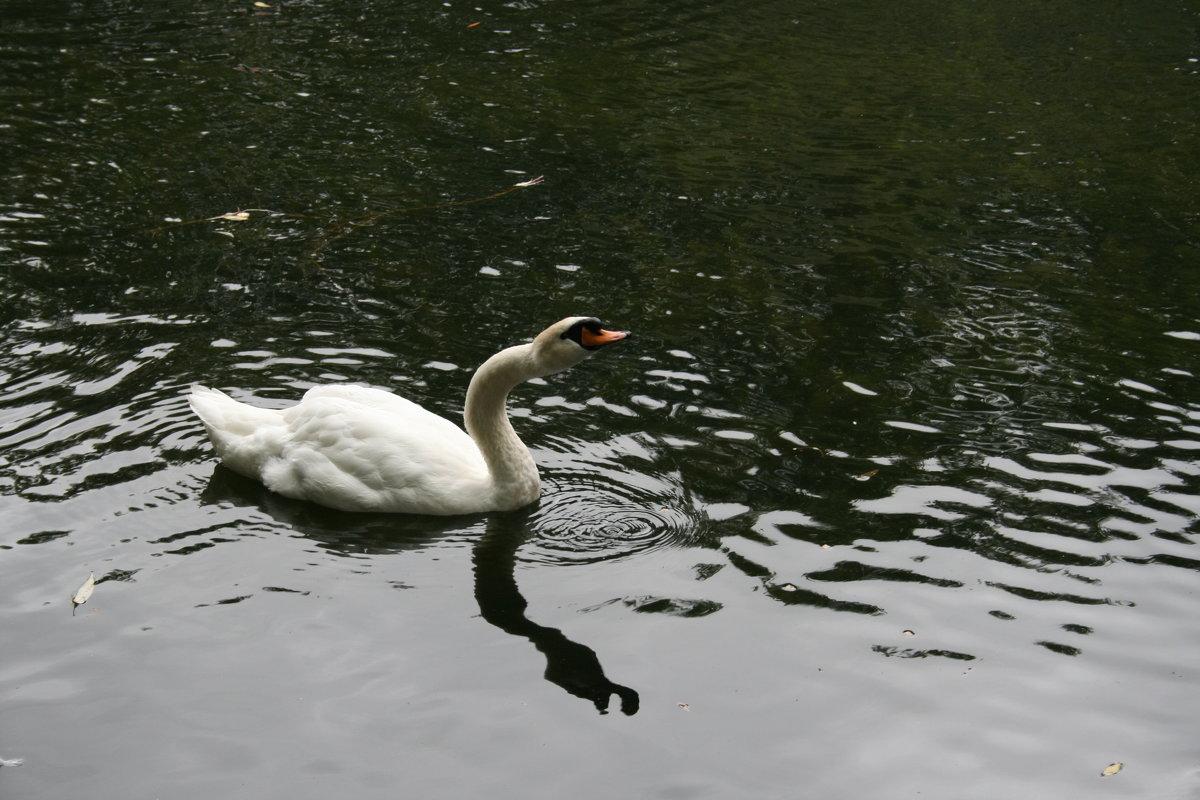 белый лебедь на пруду - Димончик