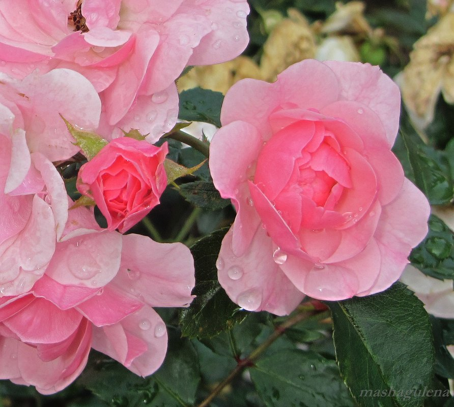 Слёзы розы - Елена Гуляева (mashagulena)
