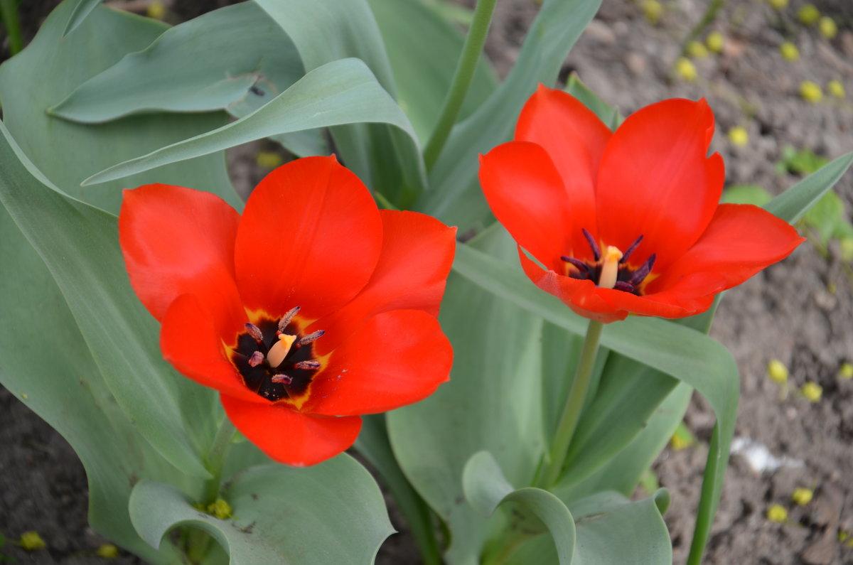 Тюльпаны - Ольга Беляева