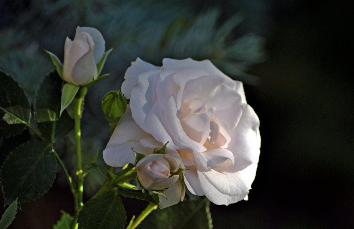 Роза белая на рассвете... - Vit