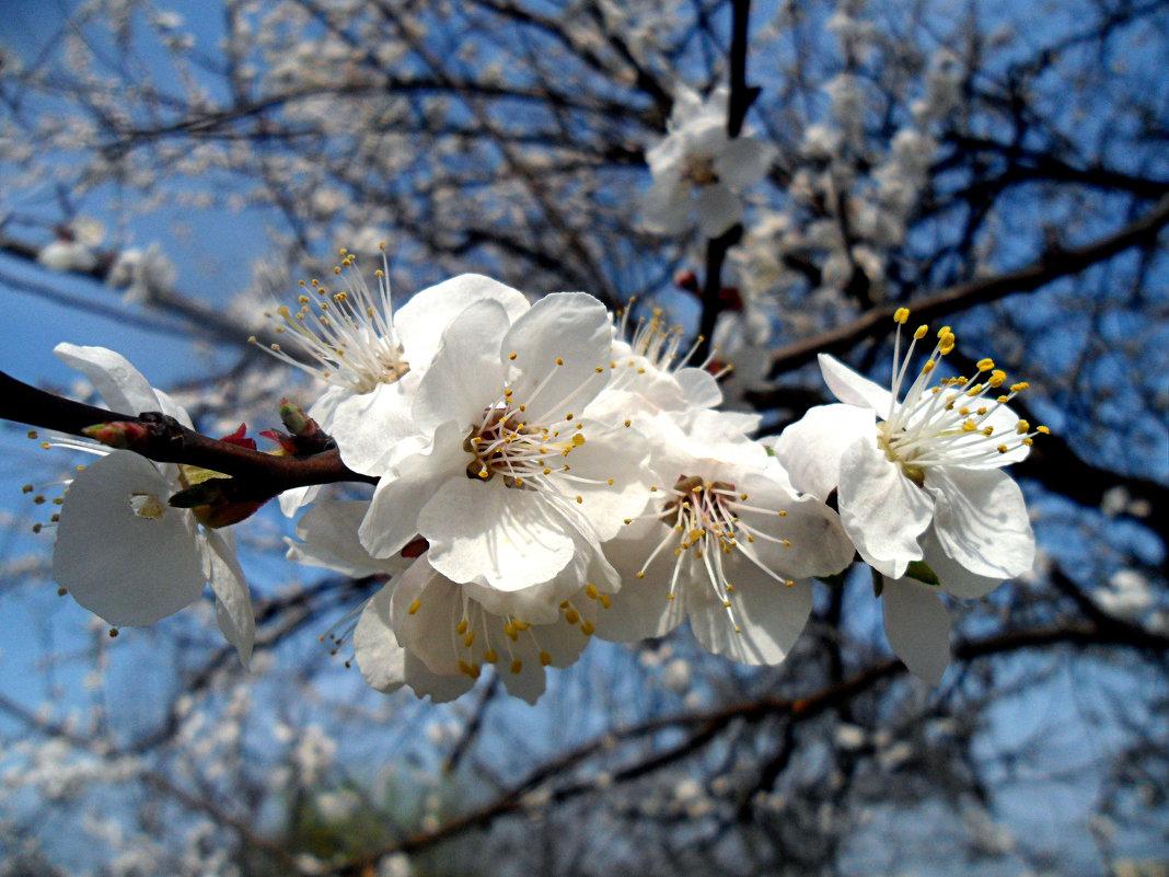 Цветут абрикосы! - Наталья