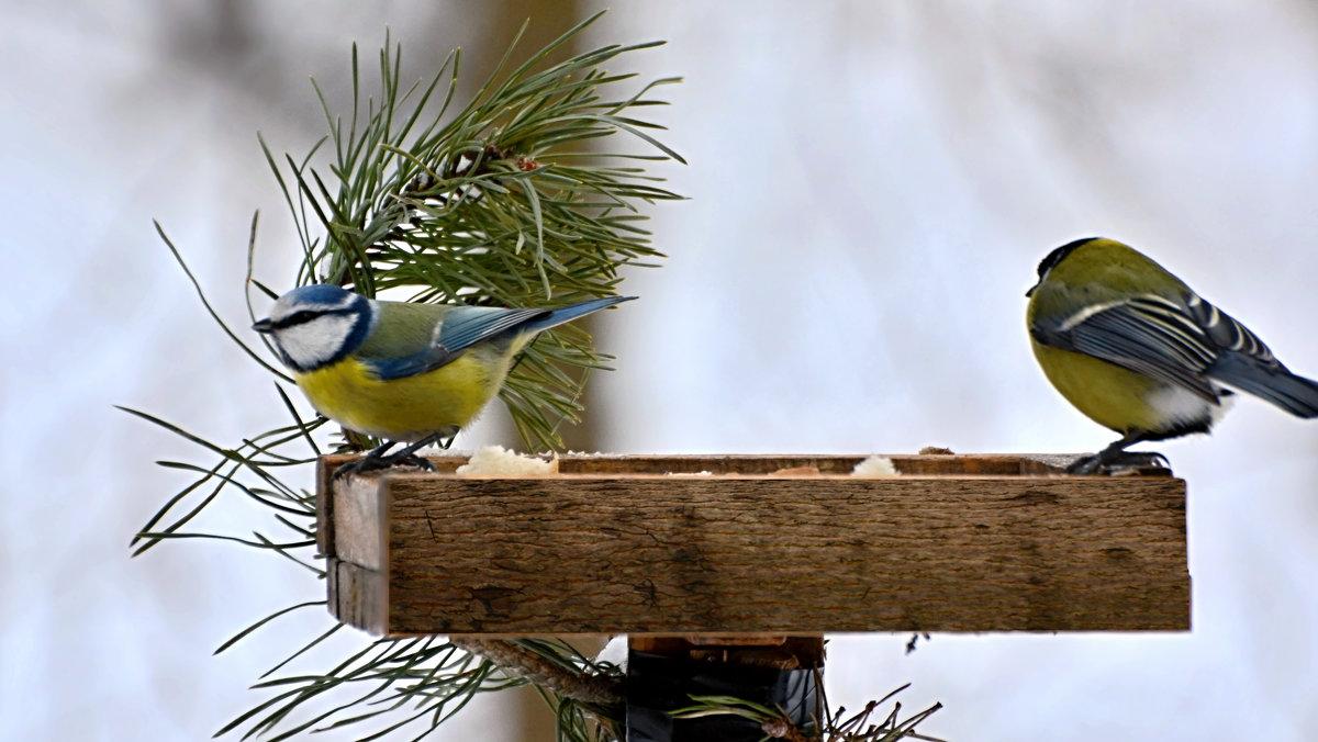синицы - linnud