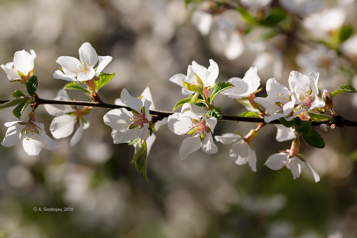 Цвет вишни - Александр Синдерёв
