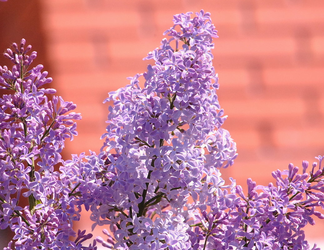 Сиреневая весна в Куркино...!!! - Kon-Dvornikov Дворников