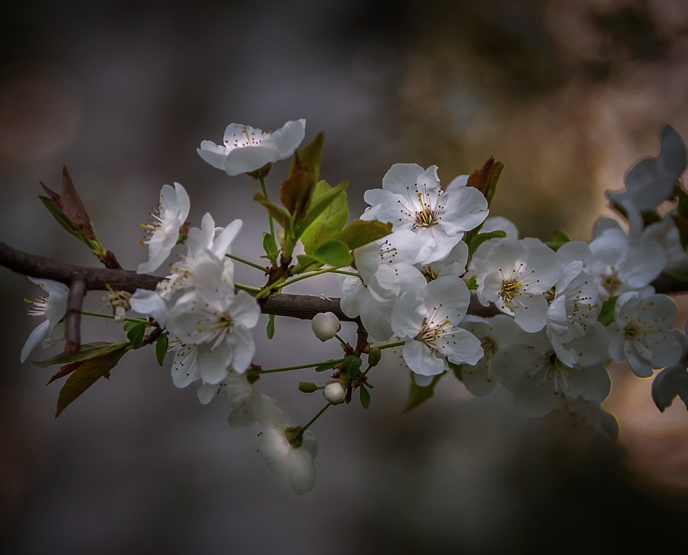 Цветы дикой сливы - Александр Попович