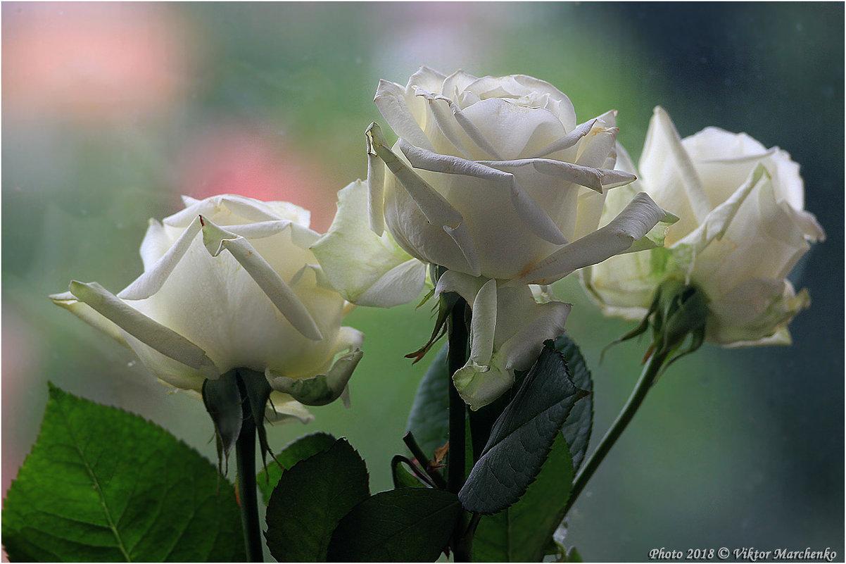 Три розы... - Виктор Марченко