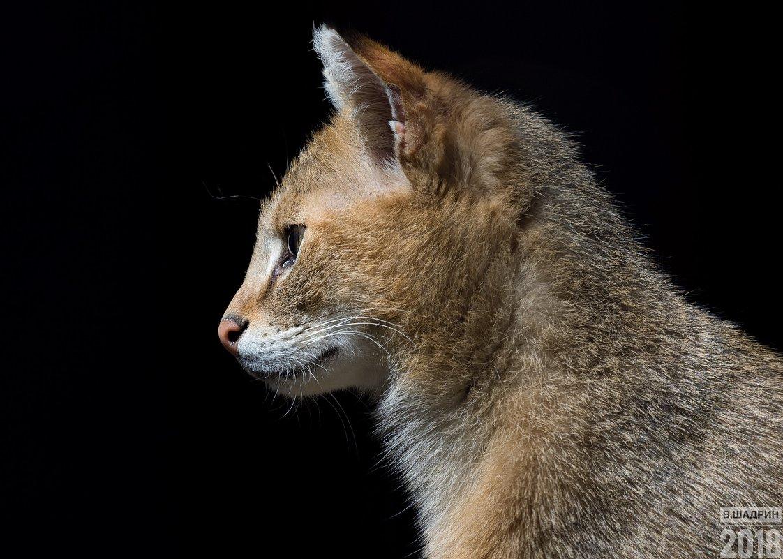 Камышовый кот - Владимир Шадрин