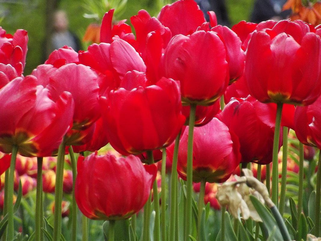 Фестиваль тюльпанов на Елагином - Вероника