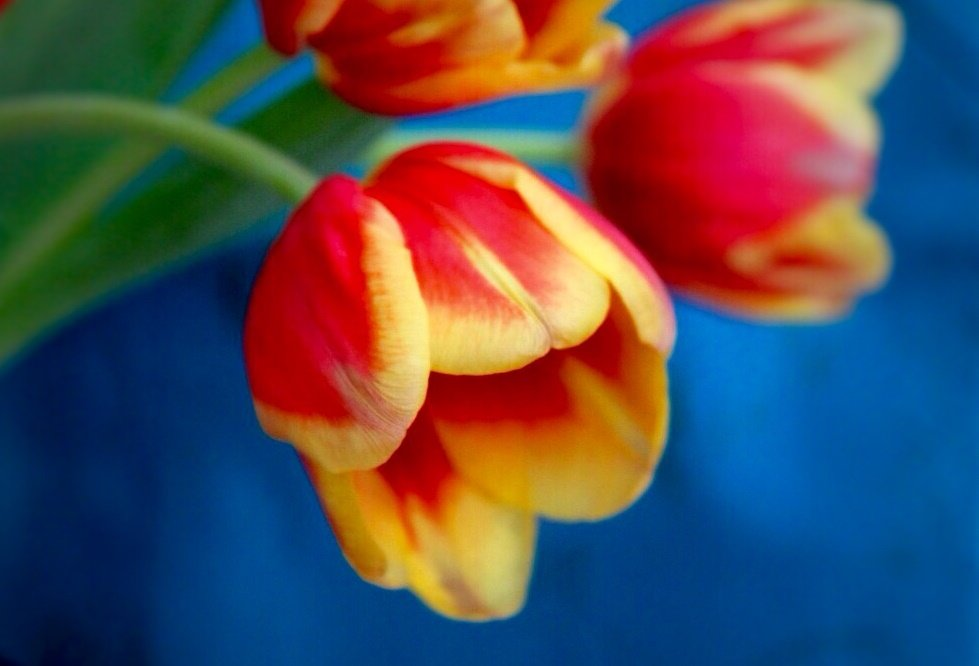 тюльпаны - Горкун Ольга Николаевна