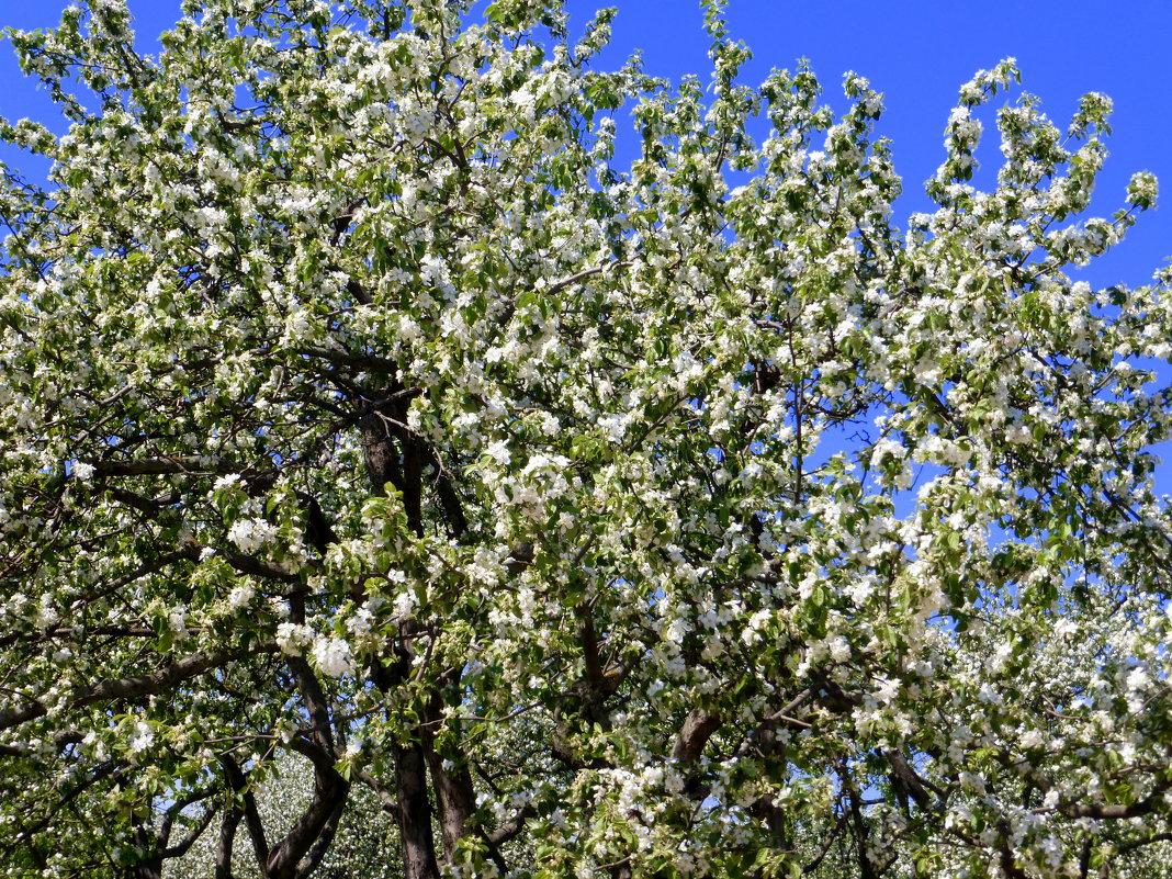 Яблоня в цвету - Татьяна Лобанова