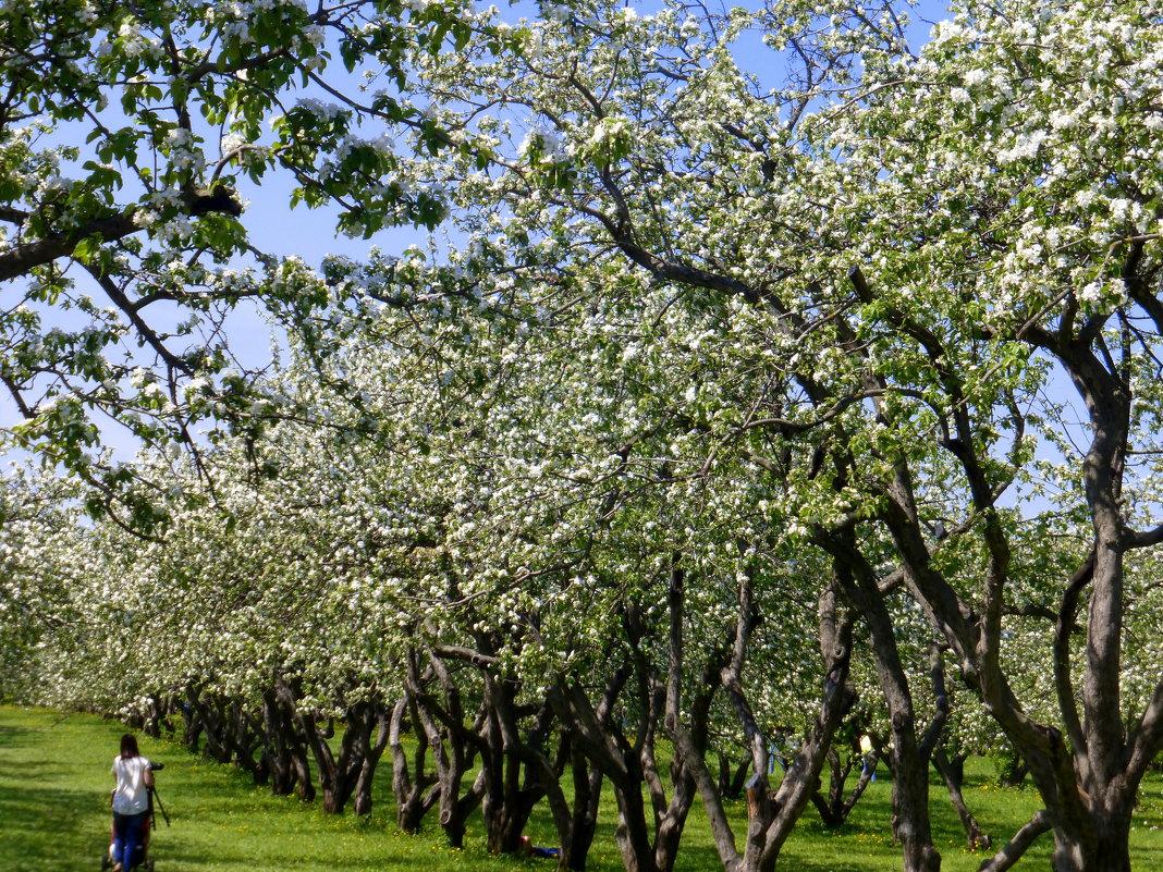 Один раз в год сады цветут - Татьяна Лобанова