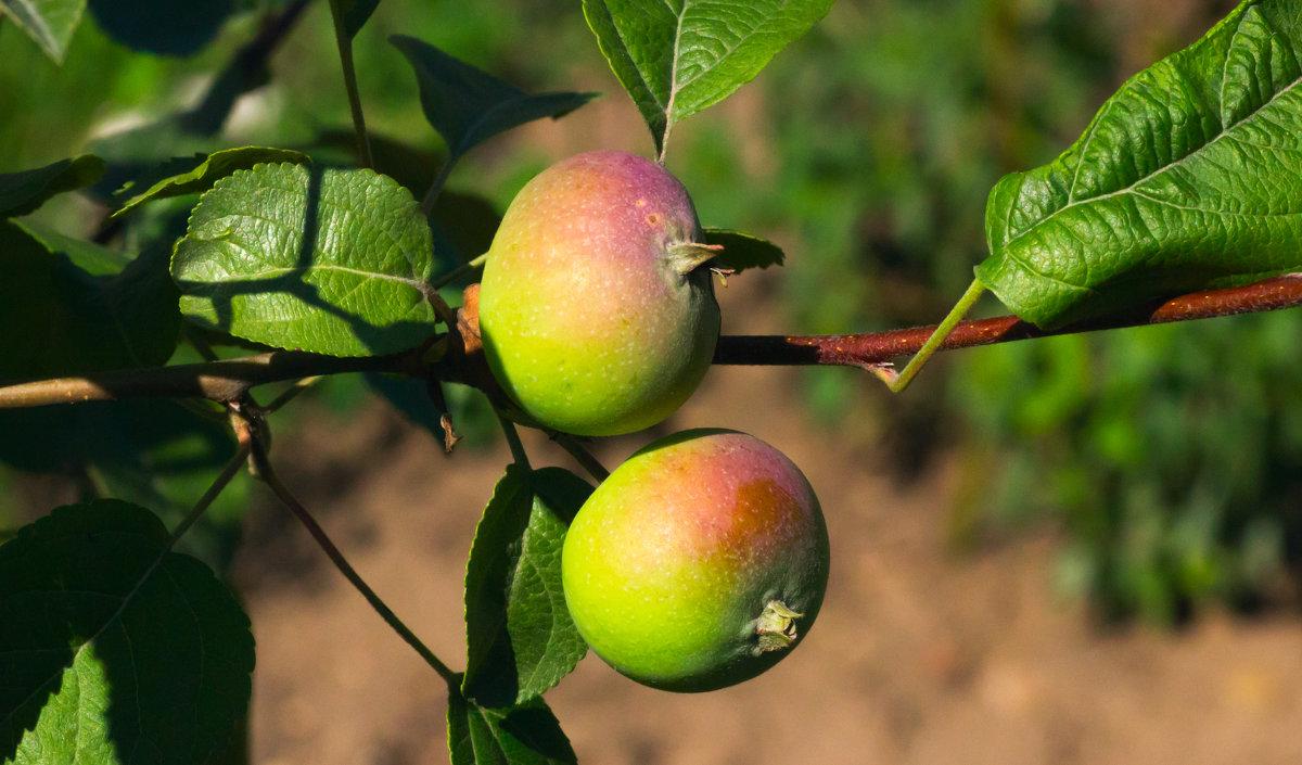 Яблочки наливные - Анатолий Иргл
