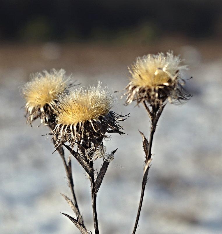 цветы зимы - юрий иванов