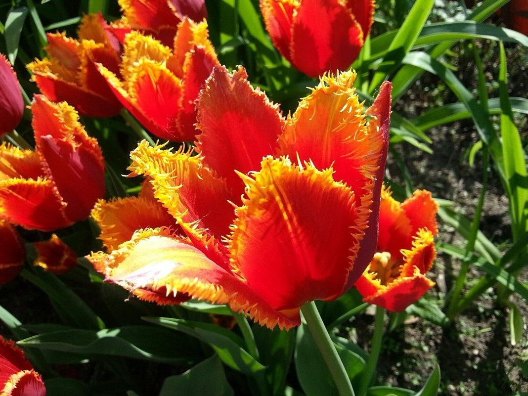 Когда цветут тюльпаны - Наталья Владимировна