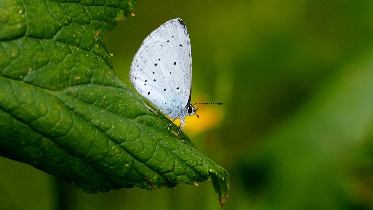 про бабочек 1 (голубянка) - Александр Прокудин