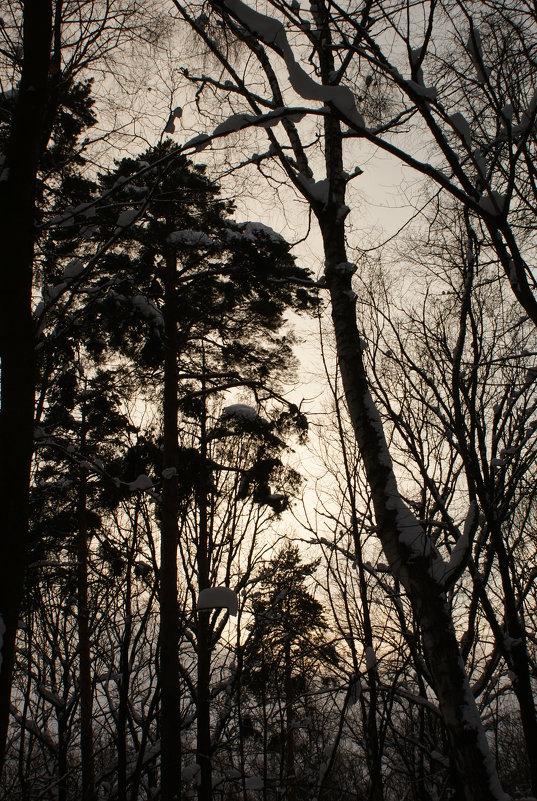 Зимний лес в лучах заката - Черси Доллар