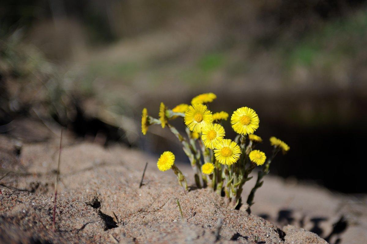 запоздалые первые цветы...(8 мая) - Андрей Вестмит