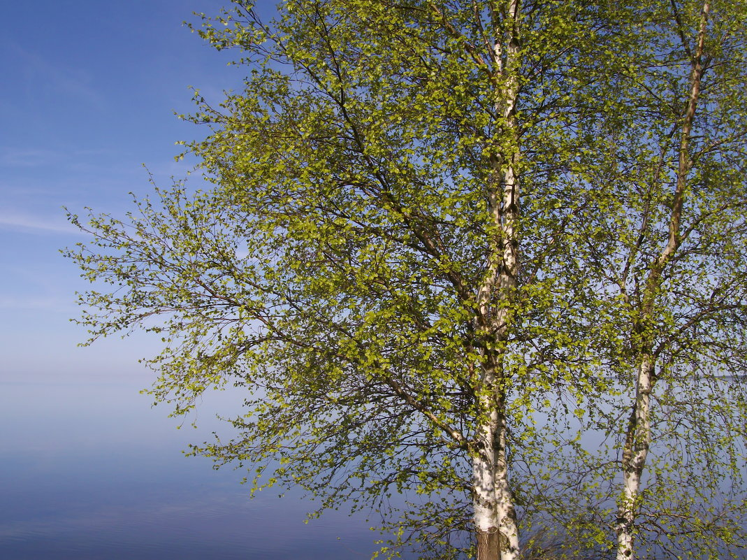 Майская береза - lady v.ekaterina
