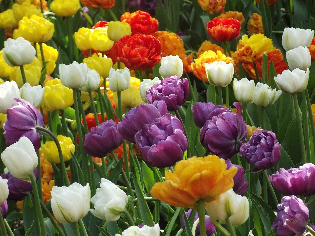 Тюльпаны - Вероника