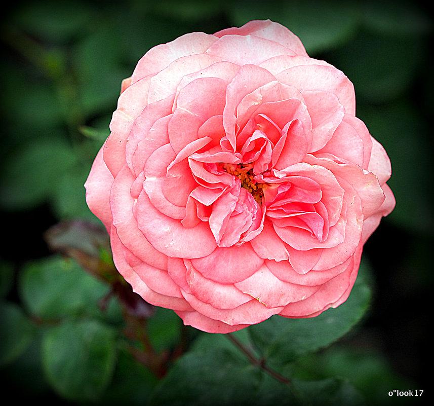 розовая роза - Олег Лукьянов