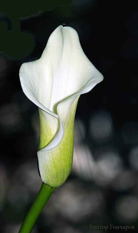 Калла - Laryan1