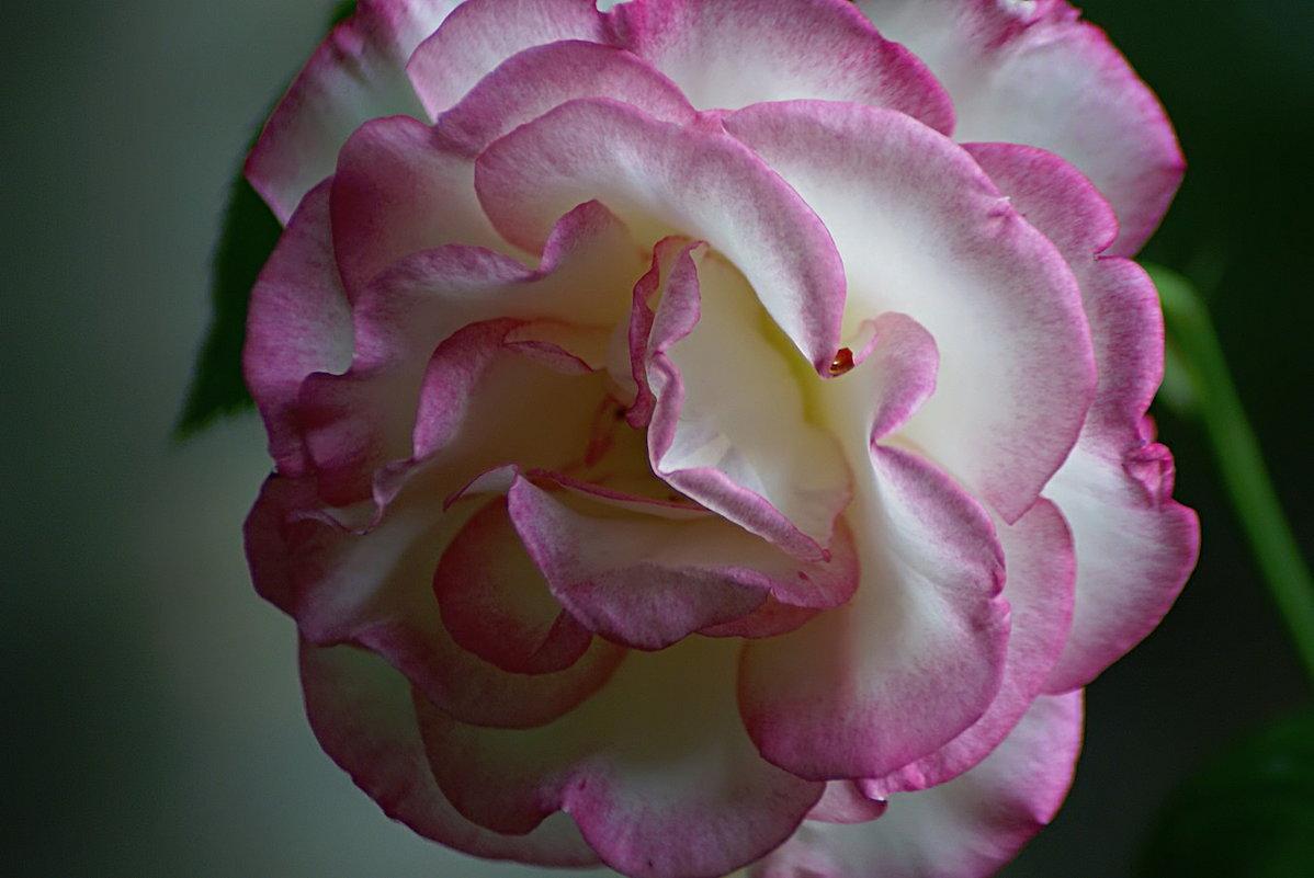 музыка в цветах (роза Гендель) - Александр Корчемный